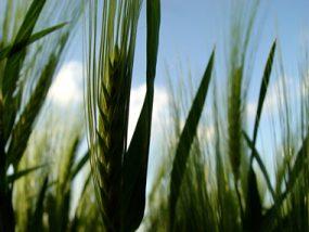 young-barley-1490547
