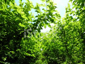 25086756-mulberry-field