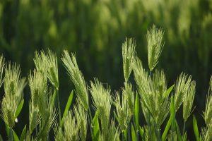 barley-1315417_640