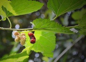 mulberry-183762_640