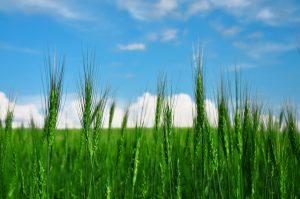大麦若葉との関係